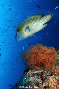 Napoleon Wrasse in Musha Mas Mingili Thila (Fish Head) by Boris Pamikov 